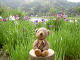 クマのルーニー 花菖蒲