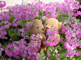 クマのルーニーとサクラソウ