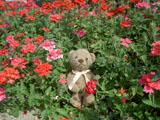 クマのルーニー バーベナ
