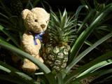 クマのルーニー Roonyとパイナップル