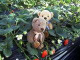クマのルーニー Roonyといちご
