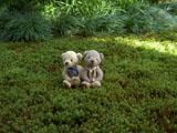 クマのルーニー 潮来 長勝寺 苔の絨毯