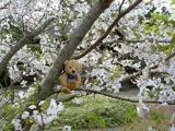 クマのルーニー 潮来 長勝寺 桜の木の上で