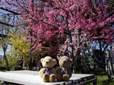 クマのルーニー 桃源郷 桃の花