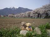クマのルーニー 甲斐駒ヶ岳 サクラ