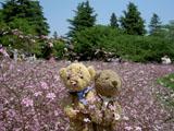 クマのルーニー 昭和記念公園 カスミソウ 05/04