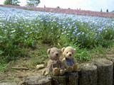 クマのルーニー 昭和記念公園 ネモフィラ