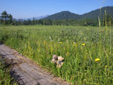 クマのルーニー 湿原と木道