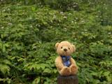 クマのルーニー レンゲショウマ