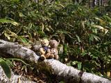 クマのルーニー 倒木
