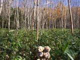 クマのルーニー クマザサ