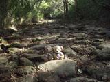 クマのルーニー 箱根旧街道石畳