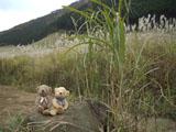 クマのルーニー ススキ