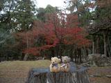 クマのルーニー 奈良公園 紅葉