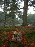 クマのルーニー 奈良公園 落ち葉