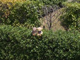 クマのルーニー Roony SS