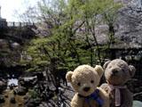 クマのルーニー 音無親水公園サクラ