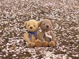 クマのルーニー サクラ