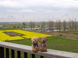クマのルーニー 菜の花畑