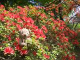 クマのルーニー ツツジ 赤