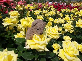 クマのルーニー バラの花 ヘルムット シュミット