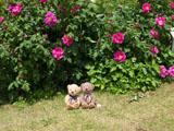 クマのルーニー バラの花 ロサ ガリカ オフィシナリス