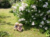 クマのルーニー バラの花 ロサ ムルティフローラ