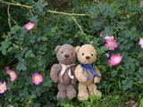 クマのルーニー バラの花 ロサ ルビギノーサ