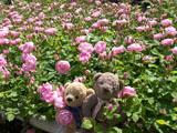 クマのルーニー バラの花 ローブリッタ