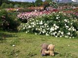 クマのルーニー バラの花 ホワイト メイディ ランド