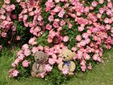 クマのルーニー バラの花 花見川