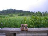 クマのルーニー ワタスゲ湿原