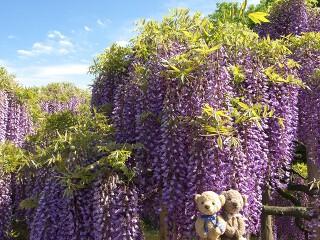 フジ(紫)