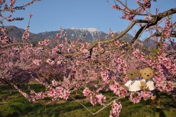 桃の木と南アルプス