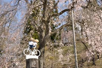 伝行山の徹然桜