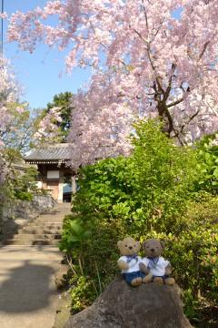 仙台しだれ桜