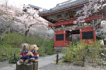 仁王門の桜