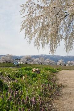最上川堤防千本桜