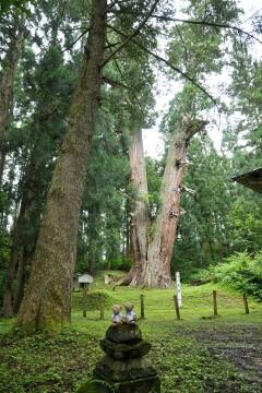 秋田県一の巨木