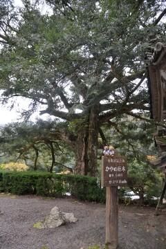 かやの巨木