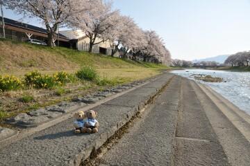 斉内川の桜並木