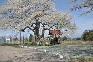 七ッ田の弘法桜