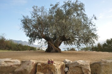 オリーブの島のシンボルツリー